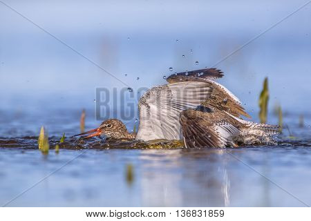 Two Fighting Common Redshank