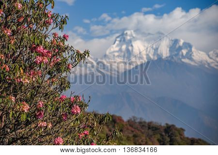 Pink rhododendron flower and view of Dhaulagiri mountain from Poon Hill viewpoint on Annapurna loop trekking route in Nepal