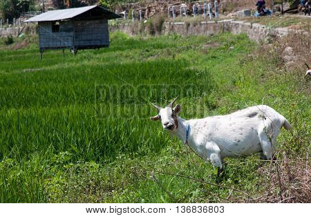 Bright green rice fields with a goat and palm trees in Flores island, Indonesia