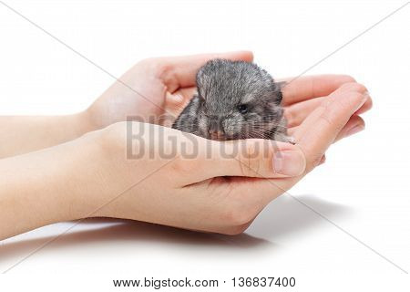 Cute baby chinchilla sitting on girl hands. Studio shot. Copy space. Isolated over white background.