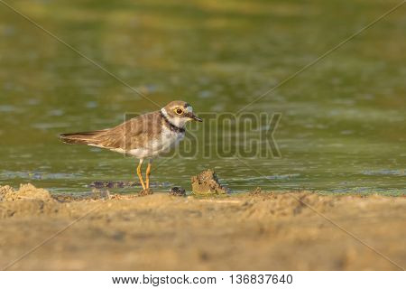 Little Ringed Plover (Charadrius dubius) searching for food