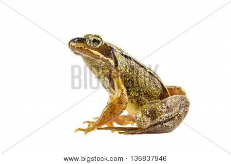 Common Brown Frog Sitting Upright