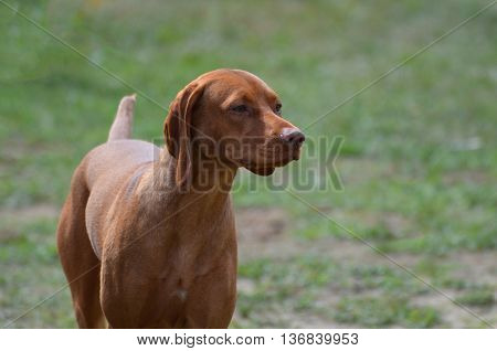 Beautiful vizsla purebred dog with a sweet face.