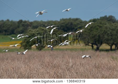 Cattle egrets (Bubulcus ibis) in fligth with vegetation in the background