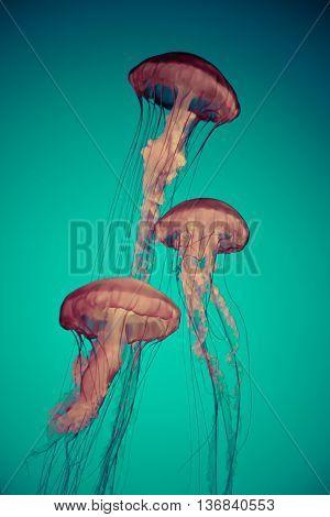 jellyfish aquatic animals art background wallpaper nature