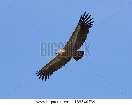 Griffon vulture (Gyps fulvus) in flight with blue skies in the background