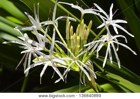 Poison bulb Latin name Crinum asiaticum flowers