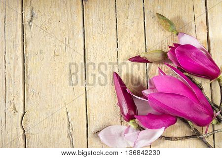 Magnolia flowers and buds. Cycle of magnolia bloom. Decoration with magnolia flowers