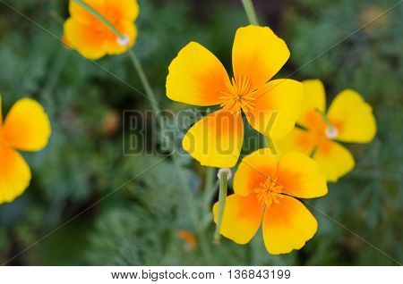 Eschscholzia against green grass background. Eschscholzia Californica California poppy