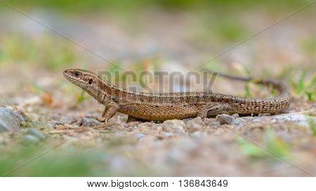 Viviparous Lizard Seen From Side