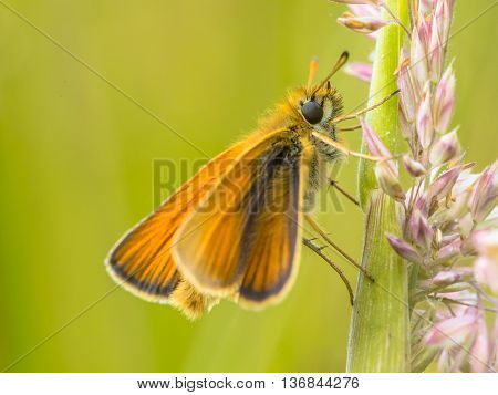 Essex Skipper On Grass