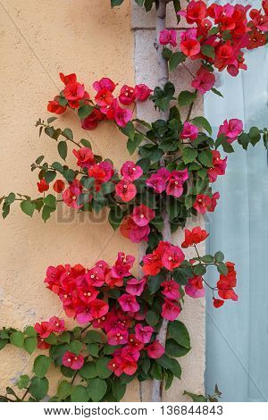 Red Bougainvillea Creeper At A House Facade