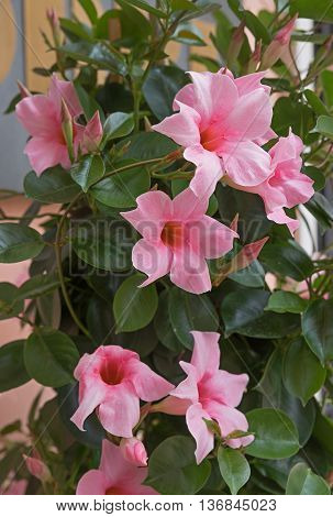 Mediterranean Mandevilla Flower In Light Pink