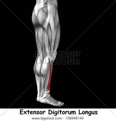 Concept or conceptual 3D illustration human lower leg anatomy or anatomical and muscle isolated on black background