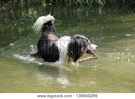 black and white border collie playing in the water with a branch