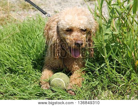cute beige poodle lying with its ball