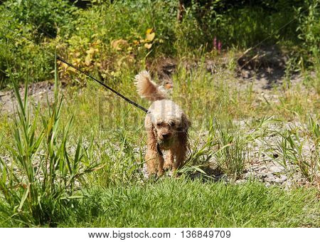 cute beige poodle carrying a ball in its mouth