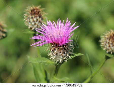 close photo of creeping thistle with purple bloom