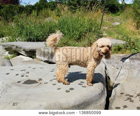 beige poodle on the big stone with wet footprints of its paws