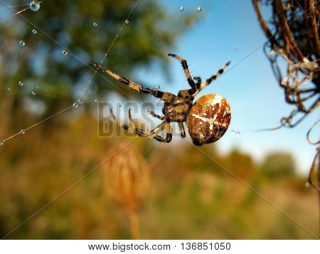 Spider on spider web with drops after rain