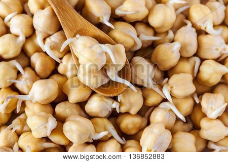 grains of germinated chickpeas in a wooden spoon