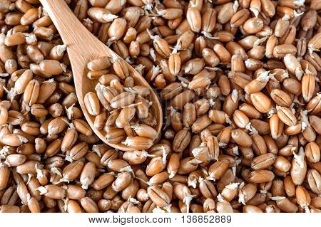 grains of germinated wheat in a wooden spoon