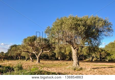Olive trees in a row. Catalonia Spain. Horizontal.