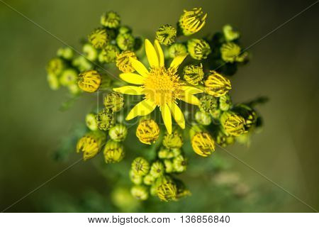 Common ragwort (Senecio jacobaea) in flower. Yellow flowered plant in the daisy family (Asteraceae) considered problematic due to being poisonous to livestock