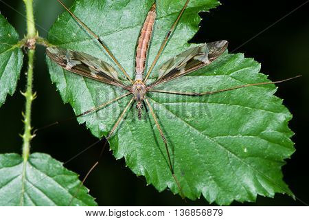 Tipula maxima cranefly from above. Largest British crane-fly in the family Tipulidae showing heavily patterned wings