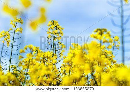 Beautiful Colza Flowering, Yellow Field Of Rape