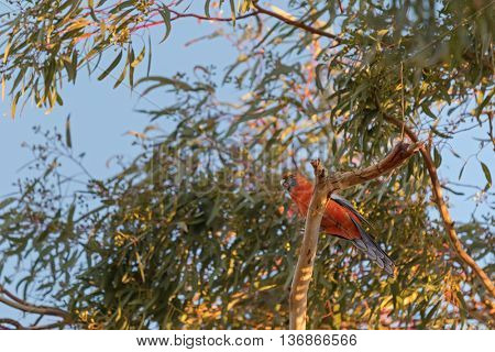 Evening view of Crimson Rosella parrot bird in orange color perching on Eucalyptus tree in South Australia
