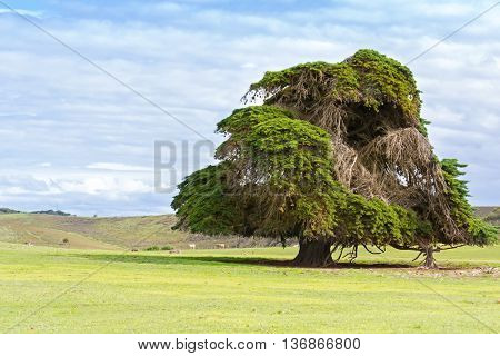 Big old Cedar tree with dried branches standing alone at the green field in Victoria, Australia