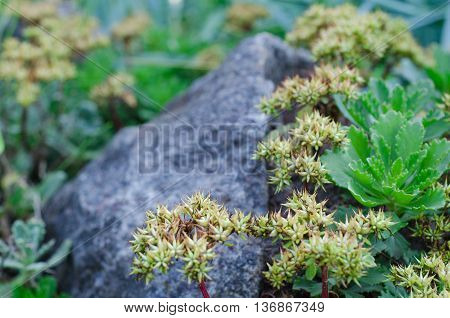 Miniature succulent plants on the rock in the garden