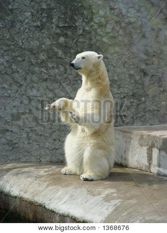 Oso polar-mendigo