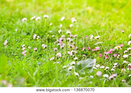Field Of White And Pink Daisies