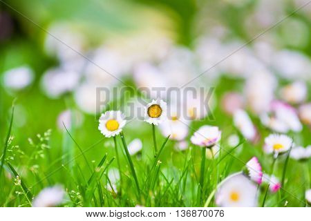 Springtime: Flowers White And Pink Daisies