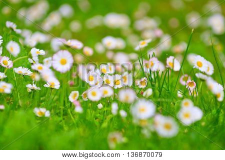 Field Of Daisies, Springtime