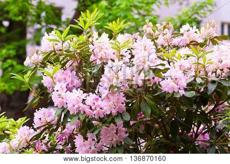 Pink Rhododendrons Flowering Shrubs In The Garden