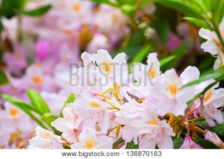 Fragile Pink Buds Of Rhododendrons