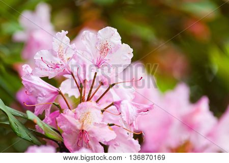 Rhododendrons Flowering Shrubs In The Garden