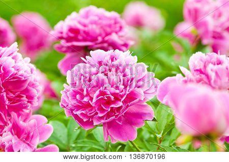 Buds Purple Varietal Peonies In Bloom
