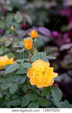 Bush Of Yellow Garden Roses