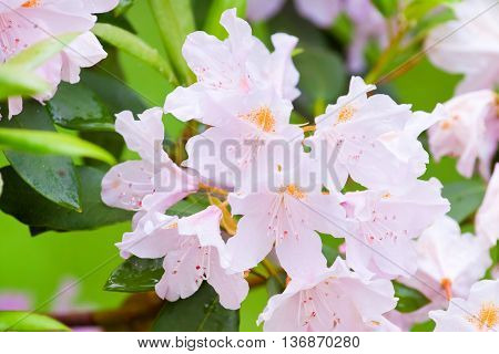 Rhododendron Flowers Close Up