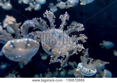 Jellyfishes with illuminated light swimming in aquarium , Jellyfishes
