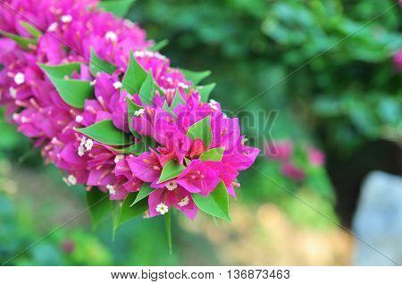 Bougainvilleas flowers in the garden in asia