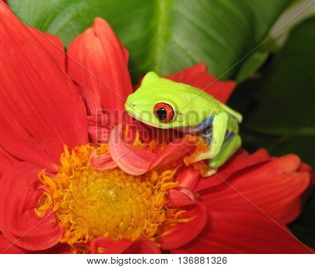 Red eyed tree frog sitting on pink flower with yellow center