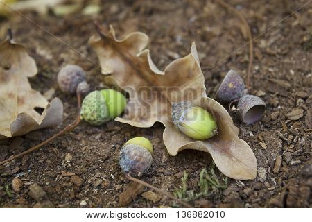 Oaken Leaves And Acorns. Close-up