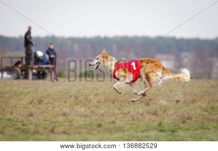 Coursing, Passion And Speed. Russian Borzoi Dog