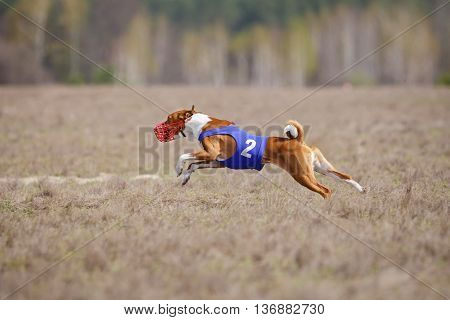 Coursing, Passion And Speed. Dogs Basenji Running
