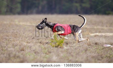 Hortaya Borzaya Dogs Running. Coursing, Passion And Speed